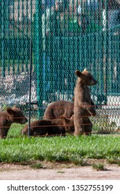 A baby brown bear standing on its hind legs and looking through a fence with other baby bears next to it.