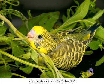 Budgie Images, Stock Photos & Vectors   Shutterstock