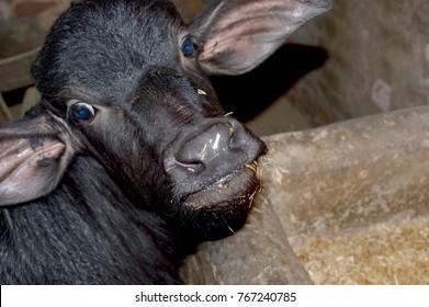 baby buffalo eating food
