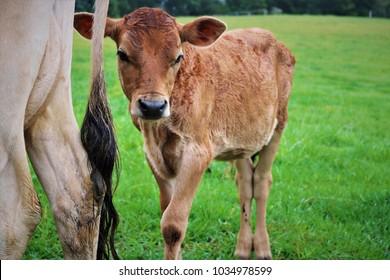 Baby bull with his mother in Bellingen pastures