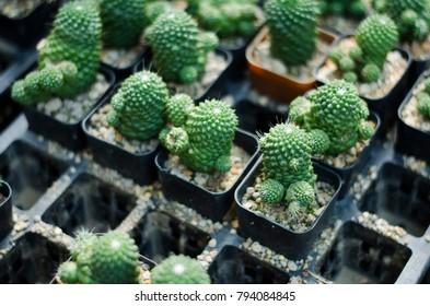 baby cactus in black pot