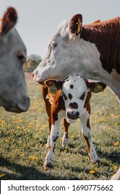 A baby calf with dots in the face standing under the mothers head on a green field