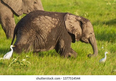 Baby calf elephant Loxodonta Africana happy running in green grass Amboseli National Park Kenya East Africa cattle egret birds screensaver natural environment vulnerable species