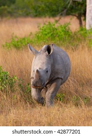 Baby calf white (square-lipped) rhinoceros (Ceratotherium simum) walking in the nature reserve in South Africa