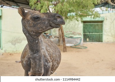 A baby camel with a bad case of mange at a animal rescue center