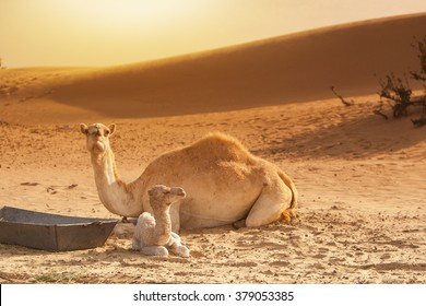 Baby camel calf and mother resting on sand, beautiful yellow des