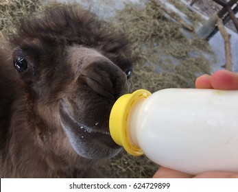Baby camel is eating milk from bottle.