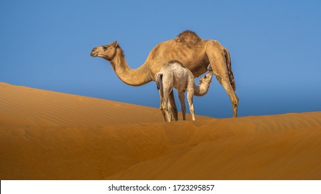 Baby Camel Feeding On Mother Camel  in Liwa Desert ,abu dhabi ,united arab emirates