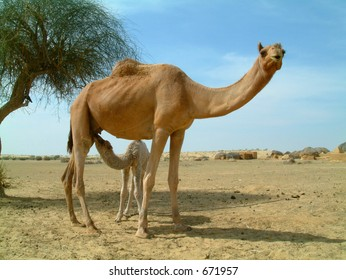 Baby camel feeding on mother camel in the desert in india