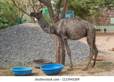 A baby camel with a form of skin decease has been abandoned to a animal rescue center in Pushkar, India.