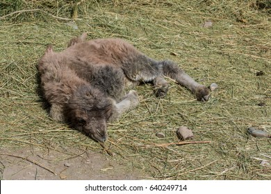 Baby camel in grass in India, double hump bactrian camel