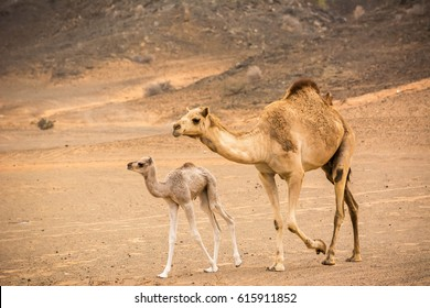 Baby camel and his mother in the desert