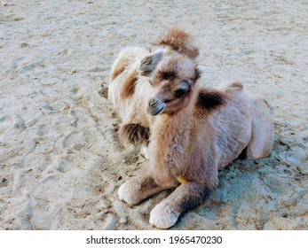 Baby Camels on the sand