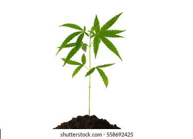 Baby cannabis plant in a flower pot isolate on white background