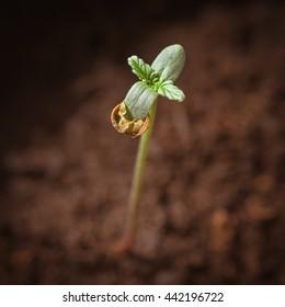Baby cannabis plant. Vegetative stage of marijuana growing.