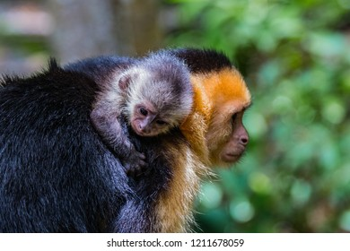 Baby capuchin monkey and mother