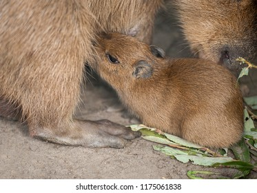 Baby capybara - water pig (Hydrochaeris Hydrochaeris Linnaeus) closeup. Cute little cub capybara sucking for milk