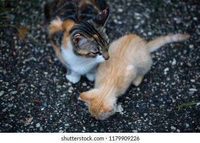 Baby cats eating, with her mother