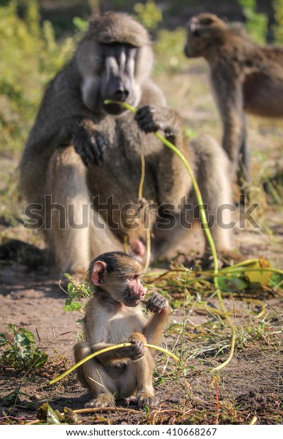 Baby chacma baboon learning to eat through play, Botswana