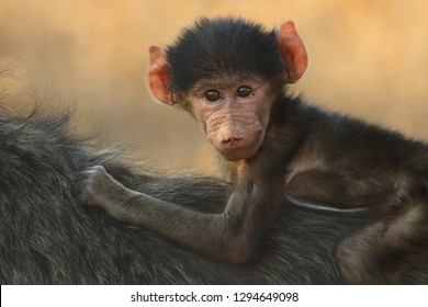 Baby chacma baboon (Papio ursinus) is siiting on the back of its mother with cute face and yellow background