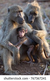 Baby chacma baboon suckling by the mother and mother is being groomed