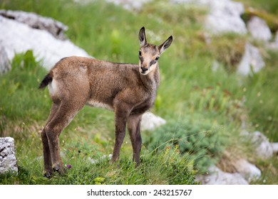 Baby chamois on a meadow