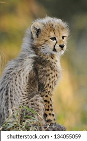 Baby Cheetah cub looking into the distance