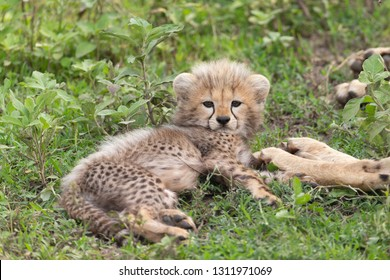 Baby Cheetah in the Serengeti Grasslands of Tanzania Africa