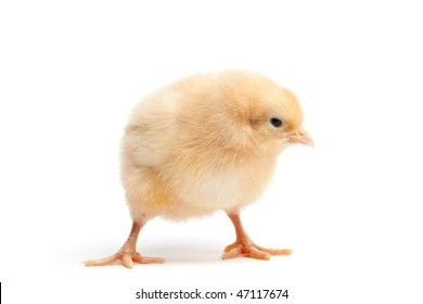 baby chick isolated on white - a funky Buff Orpington