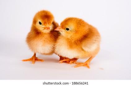 Baby Chick Newborn Farm Chickens Standing White Rhode Island Red