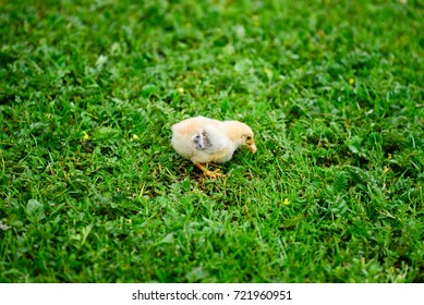 A baby chicken eating on the grass