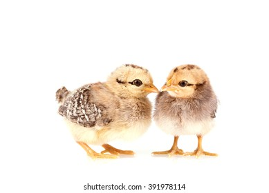 Baby chickens isolated on white background