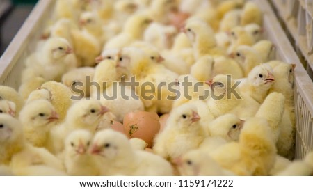 Baby Chickens Just Born On Tray Stock Photo Edit Now 1159174222