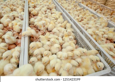 Baby chicks just coming out from broiler egg production, multipliers growth farm in Hatchery unit.