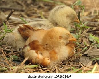Baby chicks resting.