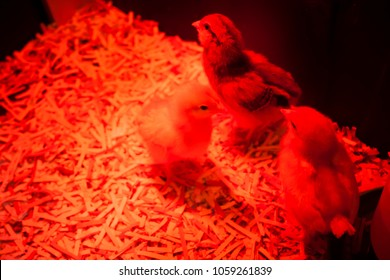 Baby chicks under a bright red heat lamp in their coop.