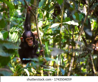 Baby Chimp cruising through Kibale Forest, Uganda