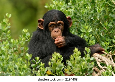 Baby Chimp in trees