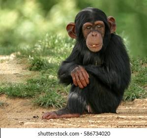 Baby Chimp Images, Stock Photos & Vectors | Shutterstock
