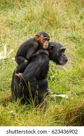 Baby chimpanzee being carried on its mother's back