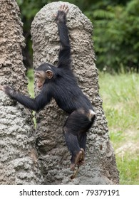 Baby chimpanzee climbing on artificial ant mounds at a zoo. He his holding a stick in his feet and probing a hole with it.