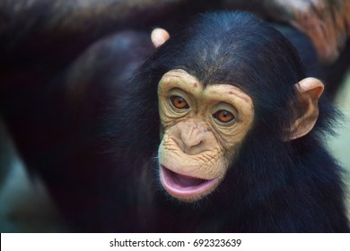Baby chimpanzee face.