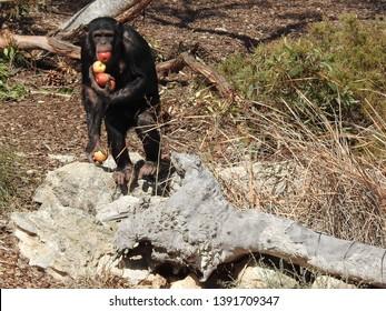 Baby chimpanzee, infant chimpanzee, common chimpanzee, robust chimpanzee, chimp, Pan troglodytes, species of great ape, endangered species holds apples, Monarto Zoo Monarto South Australia, Australia