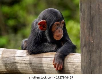 Baby Schimpanse auf einem Zaun