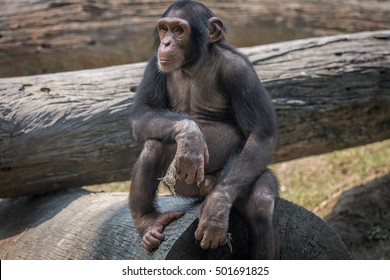 A baby Chimpanzee at a zoo in Kolkata. Chimps are considered closest to humans in behavioral traits.