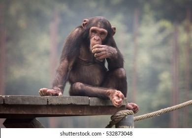 Baby chimpanzee at a zoo in Kolkata, India. Chimps among all monkey species are considered closest to humans in behavioral traits.