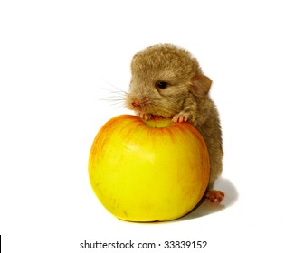 baby chinchilla and the apple isolated background on white
