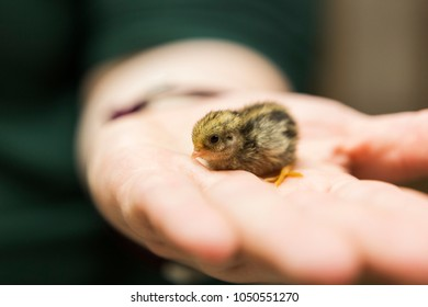 Baby Chinese Button Quail in human hand