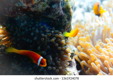 Baby clownfish and brother with parent in background