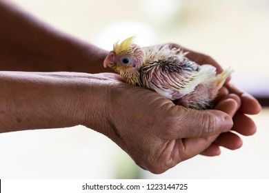 A baby Cockatiel Wait for food.